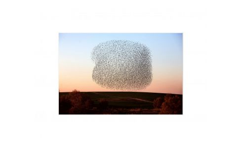 STARLINGS photo print 60X80